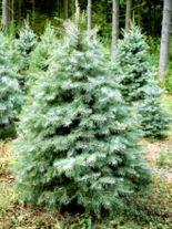 Silbertanne weihnachtsbaum hammelbach for Amerikanischer weihnachtsbaum
